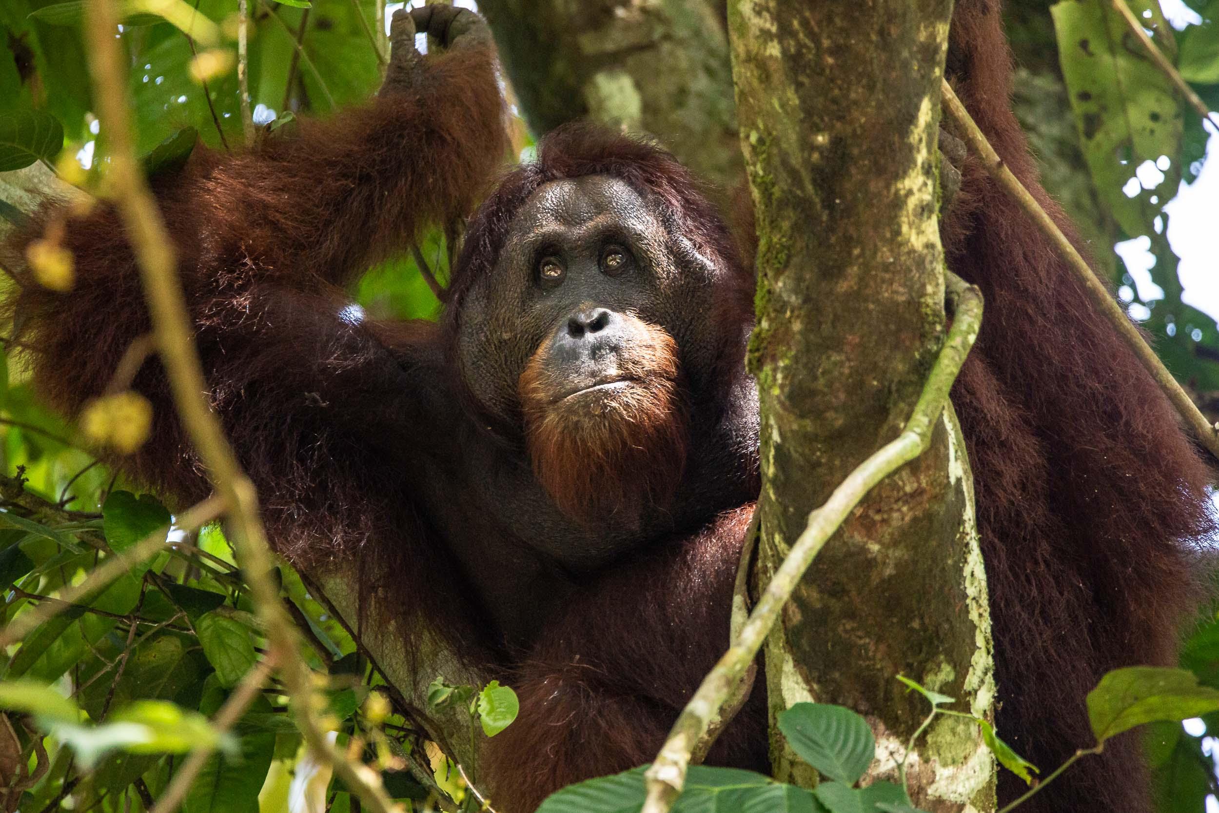 Large Male Orangutan with Flanged Cheeks in a tree, Danum Valley, Sabah, Borneo, Malaysia.jpg