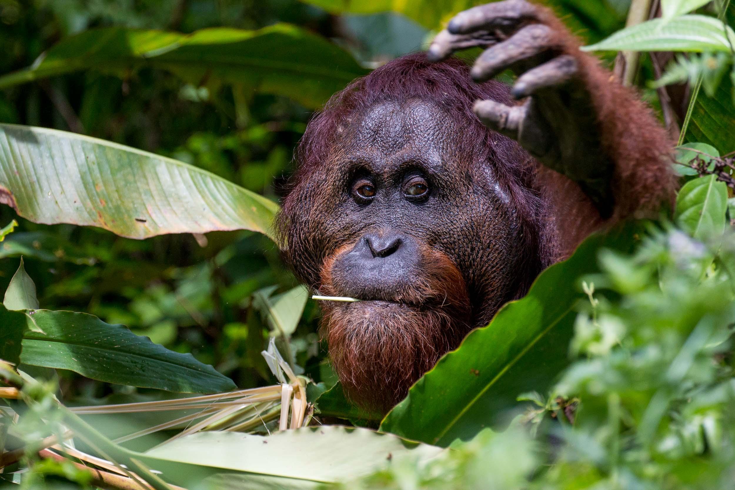 Gotenz, Large Male Orangutan with Flanged Cheeks, Danum Valley, Sabah, Borneo, Malaysia.jpg