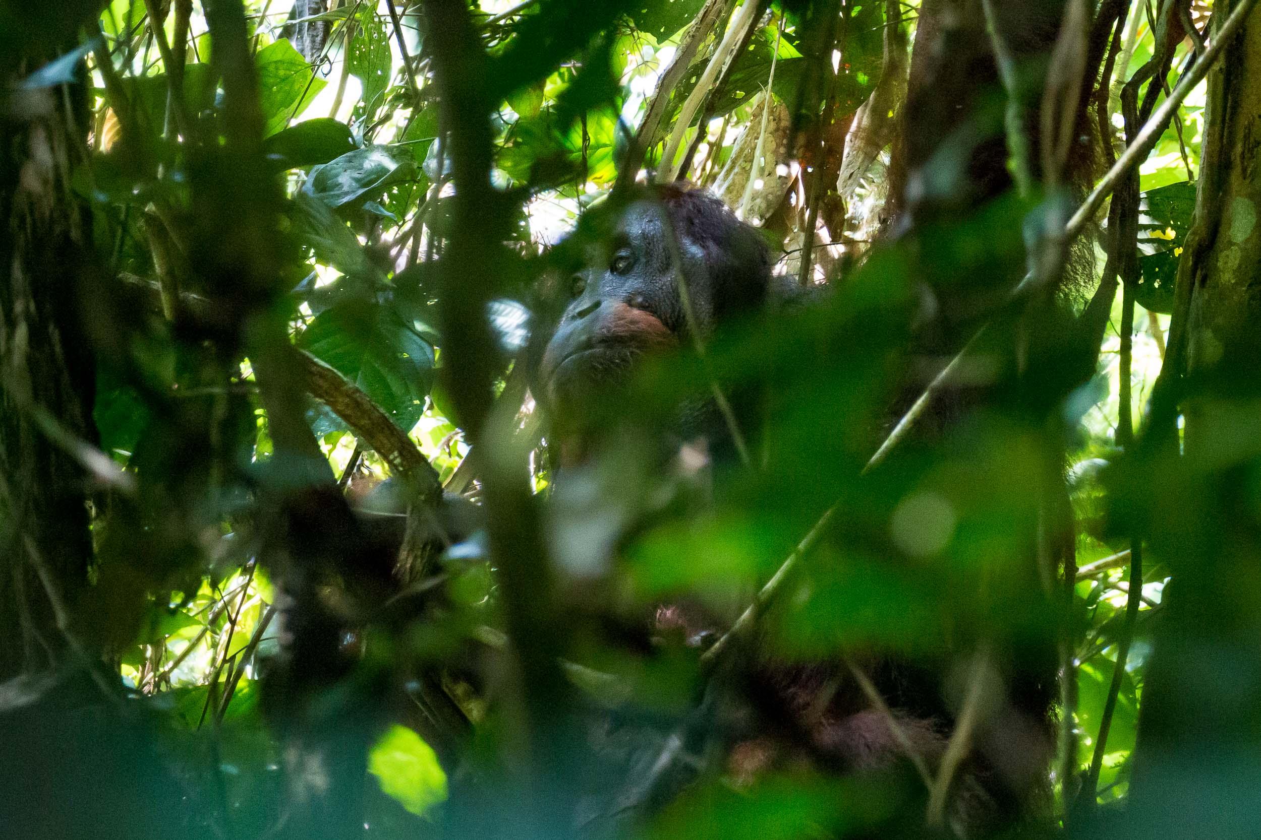 Large Male Orangutan with Flanged Cheeks eating, Danum Valley, Sabah, Borneo, Malaysia.jpg.jpg