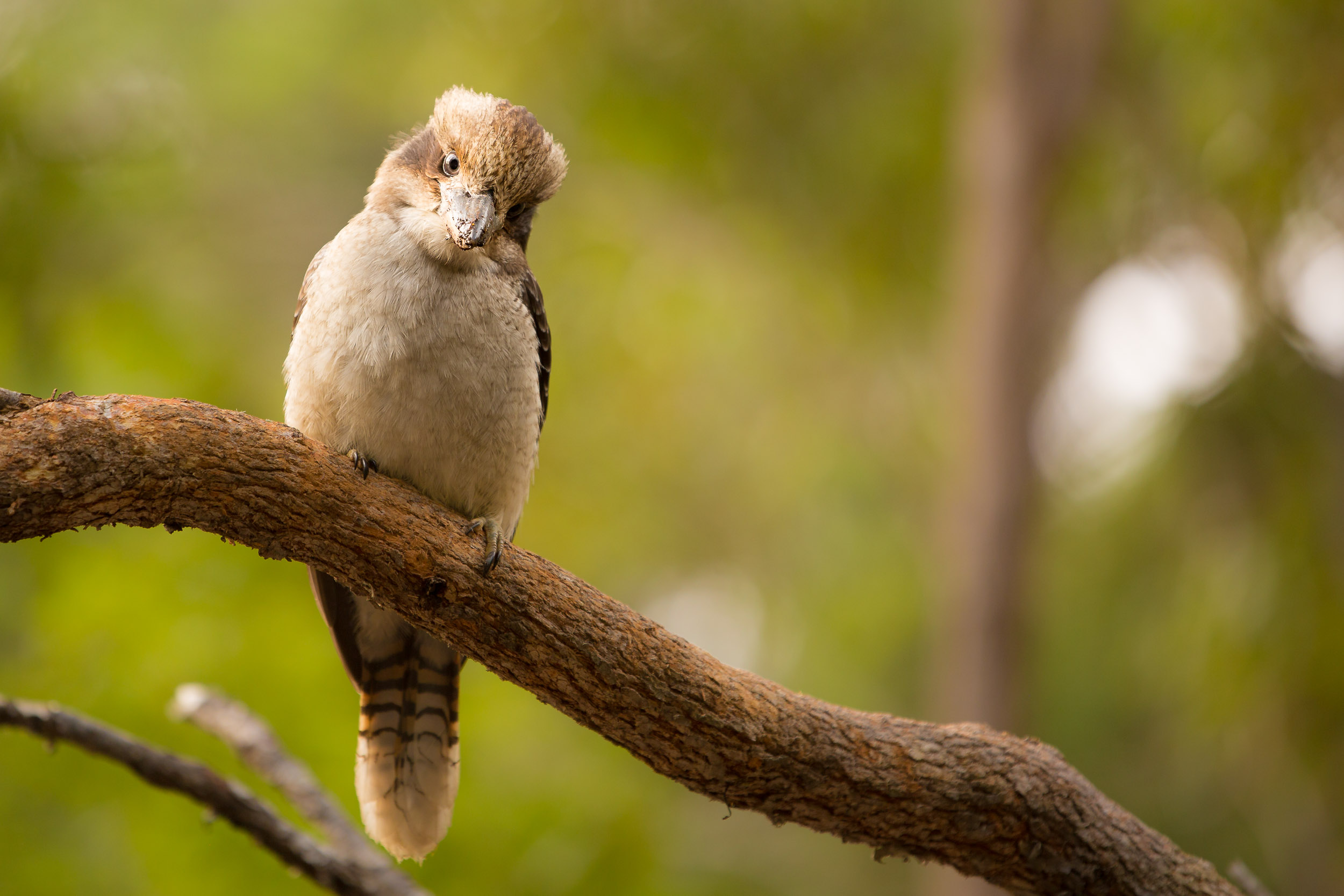 Kookaburra in WA's South West.jpgj