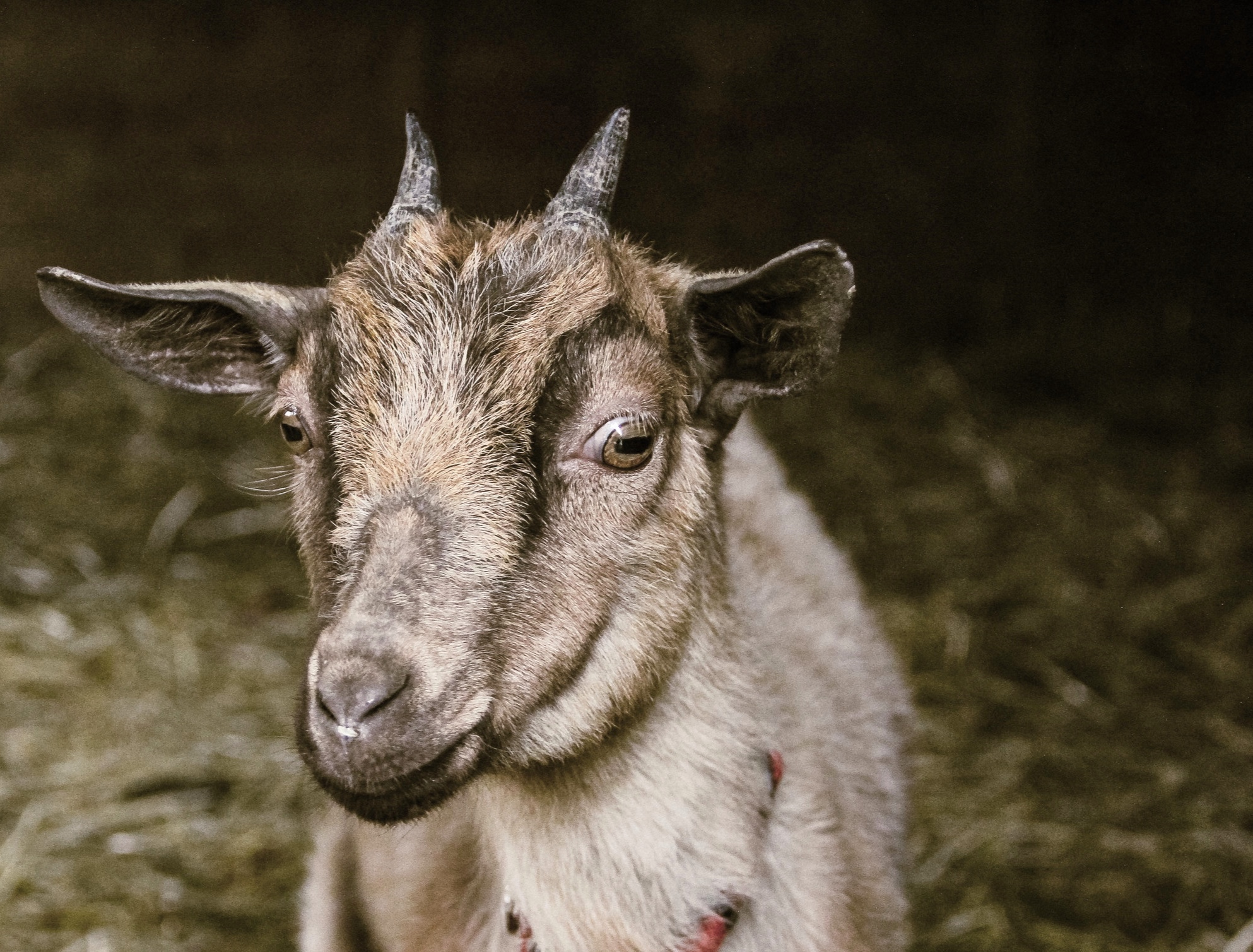 Lucy, one of our goats