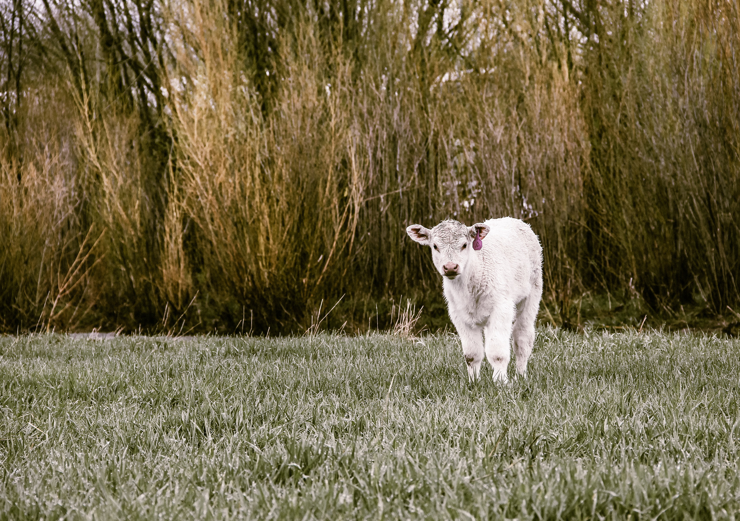 Our baby calf, Wild Child