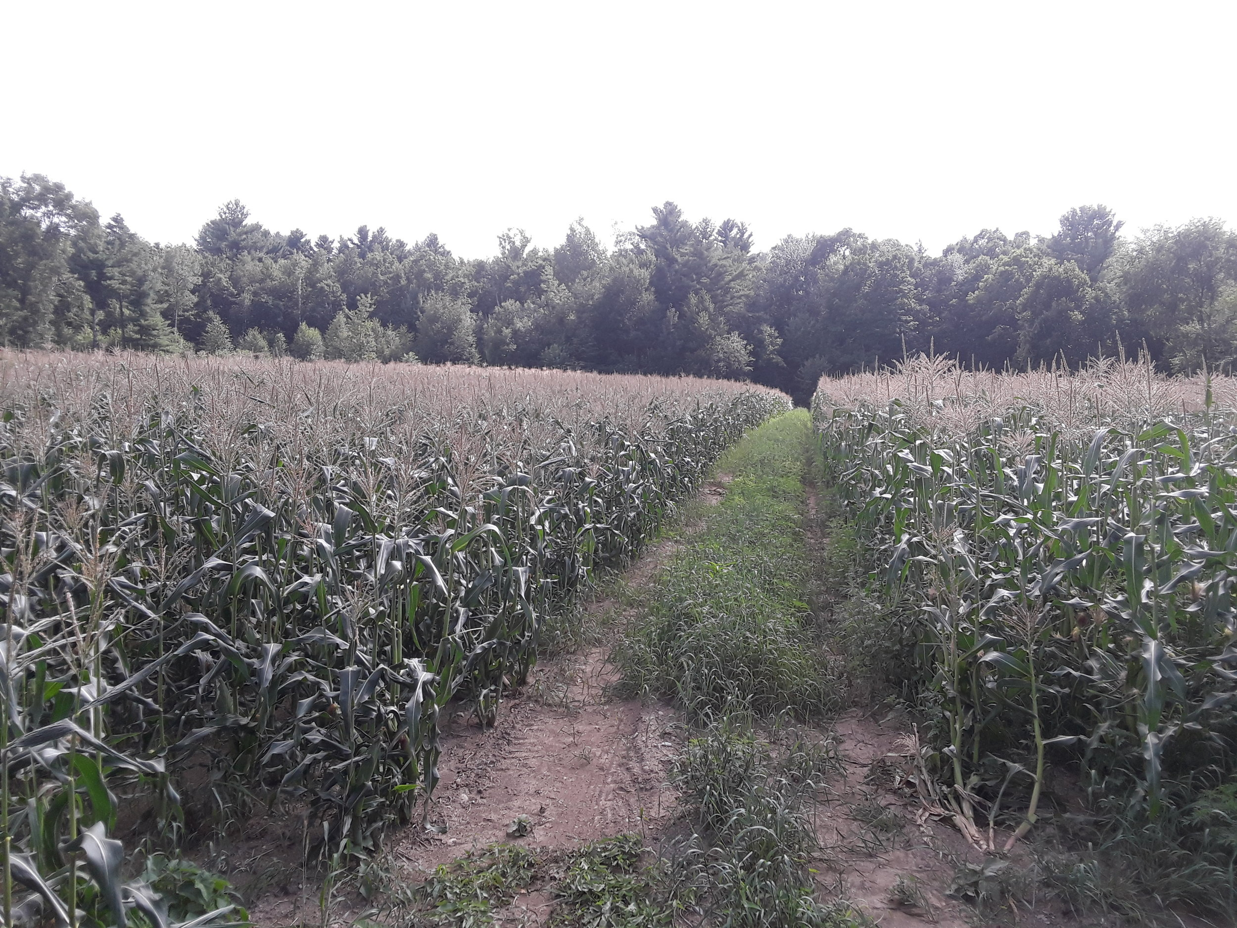 One of the many fields of sweet corn