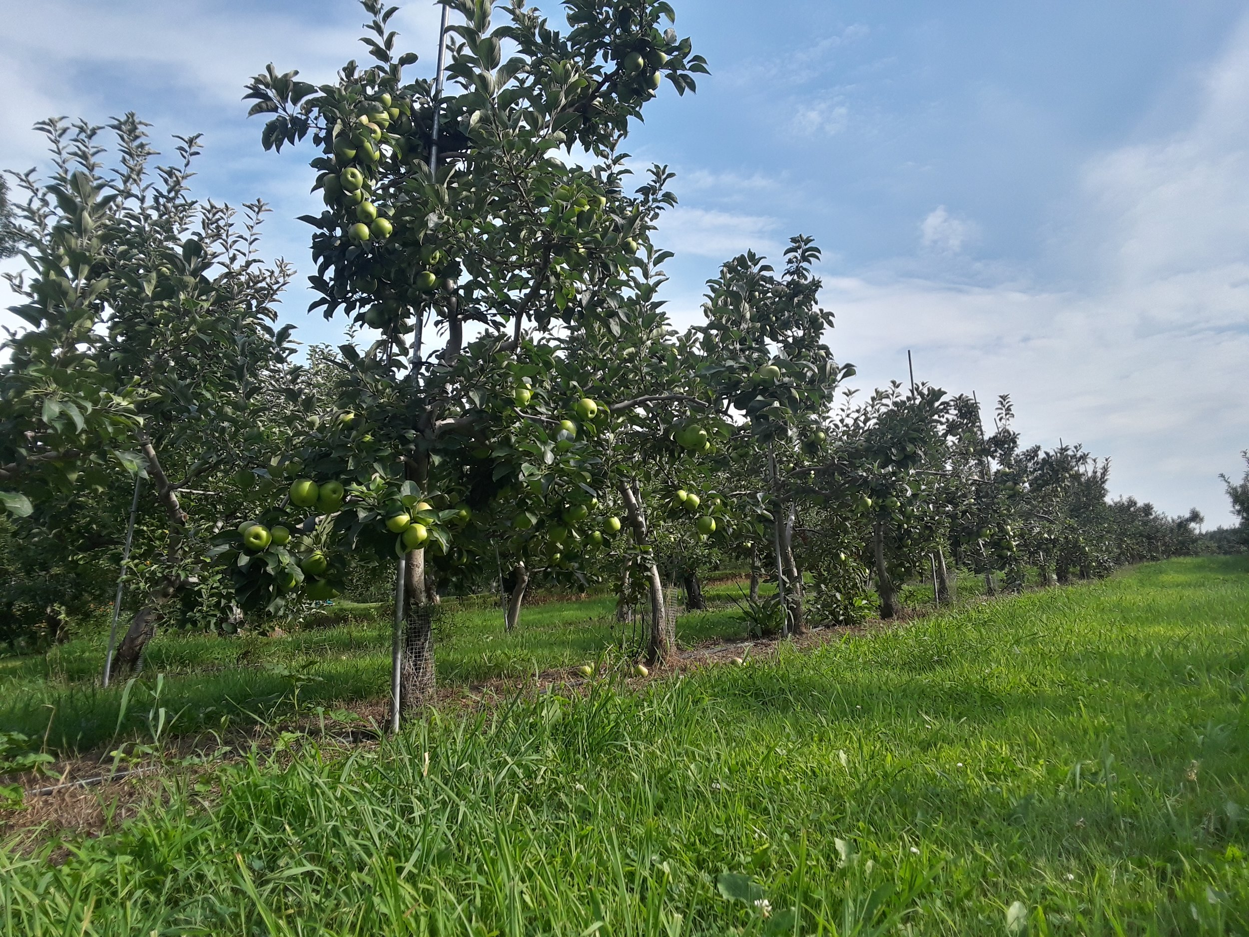 A young apple orchard