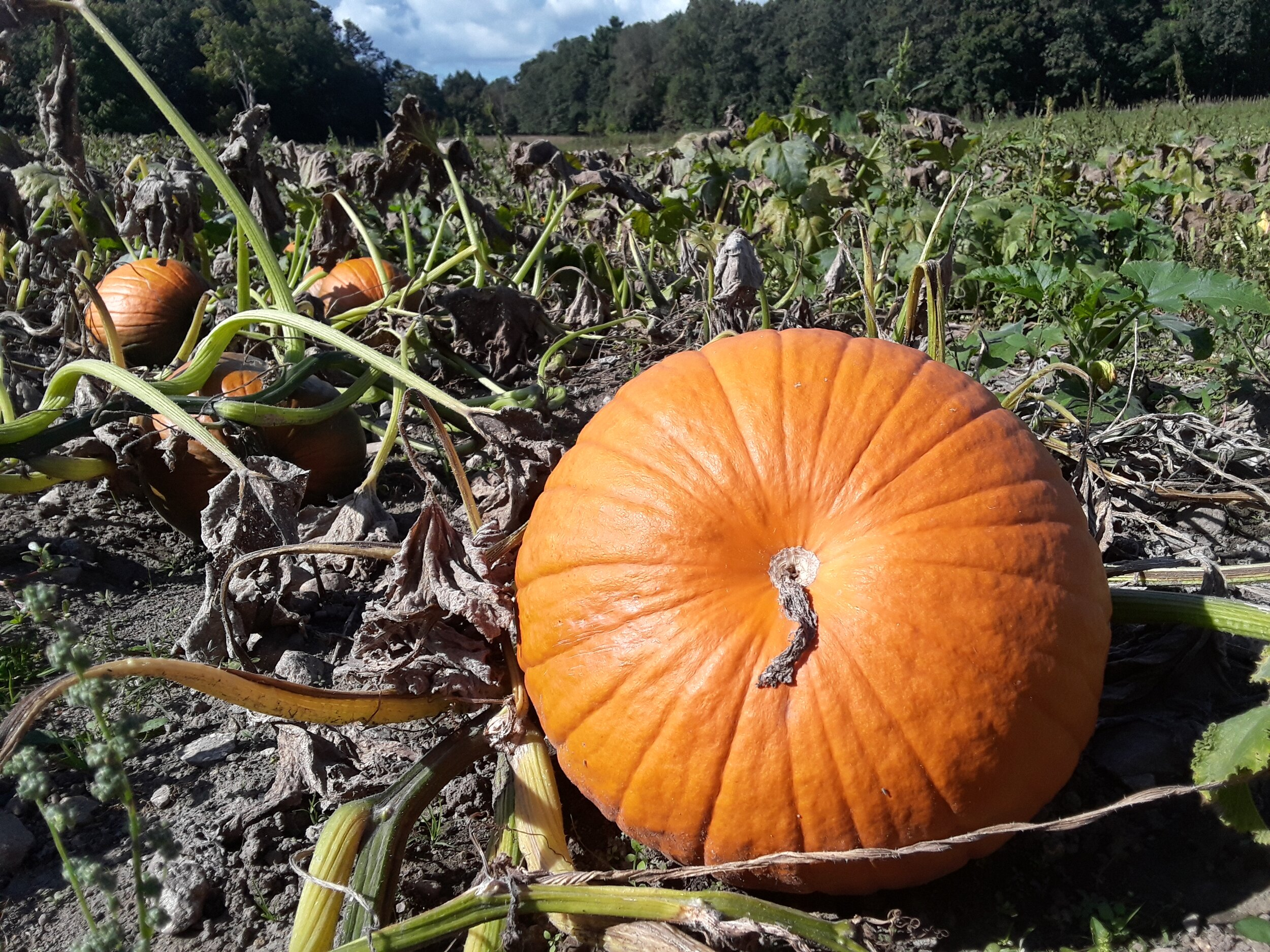 A pumpkin ready for harvest
