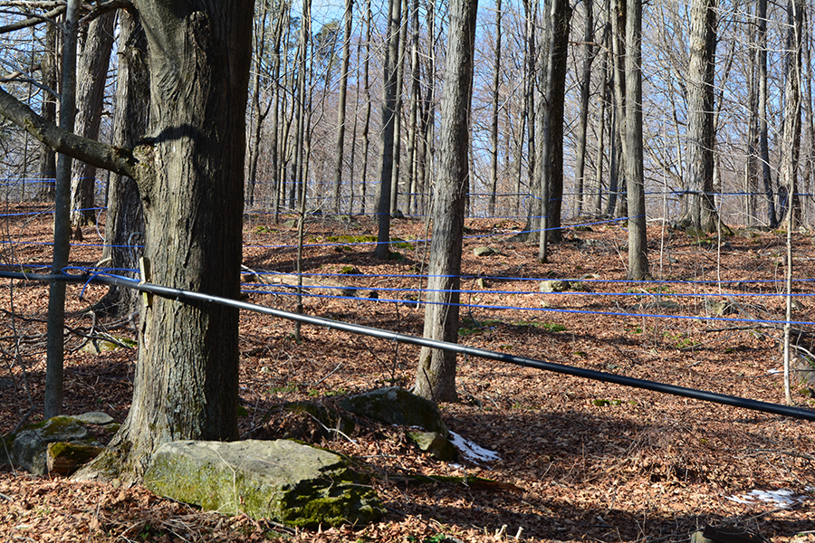 Black pipes are the main lines with smaller blue lateral lines connecting to the tree taps