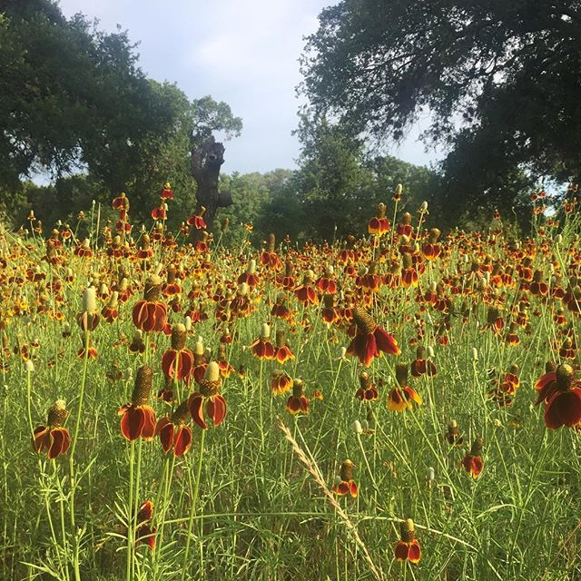 Wildflowers make for a nice distraction while running #Texas #wildflowers #trailrunning #fromwhereirun
