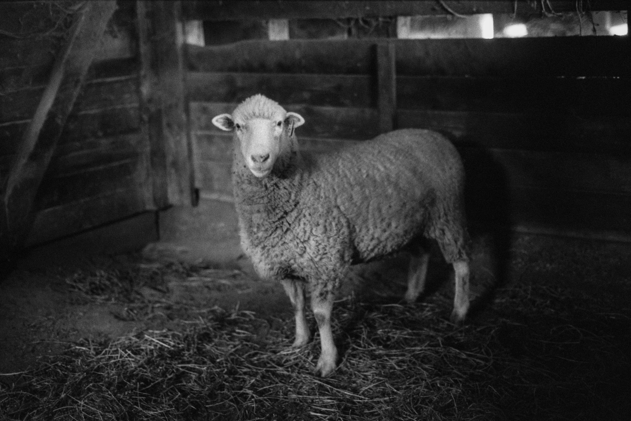 Ingel Haven 5 Sheep.jpg