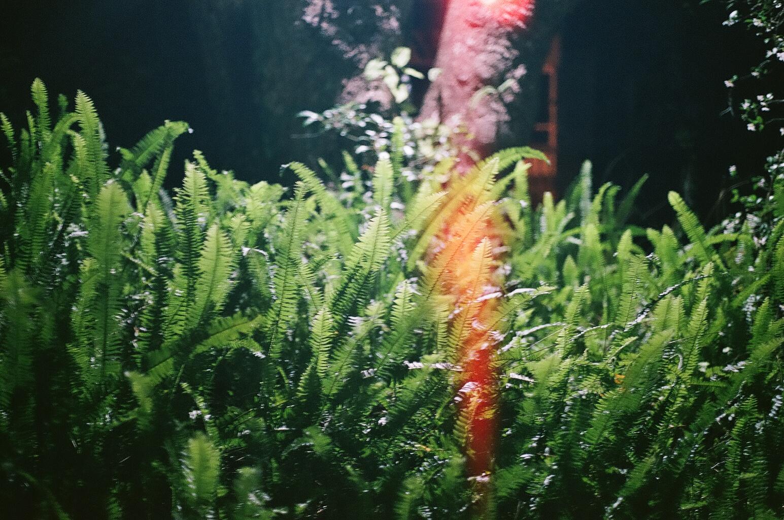 ferns in cassadaga
