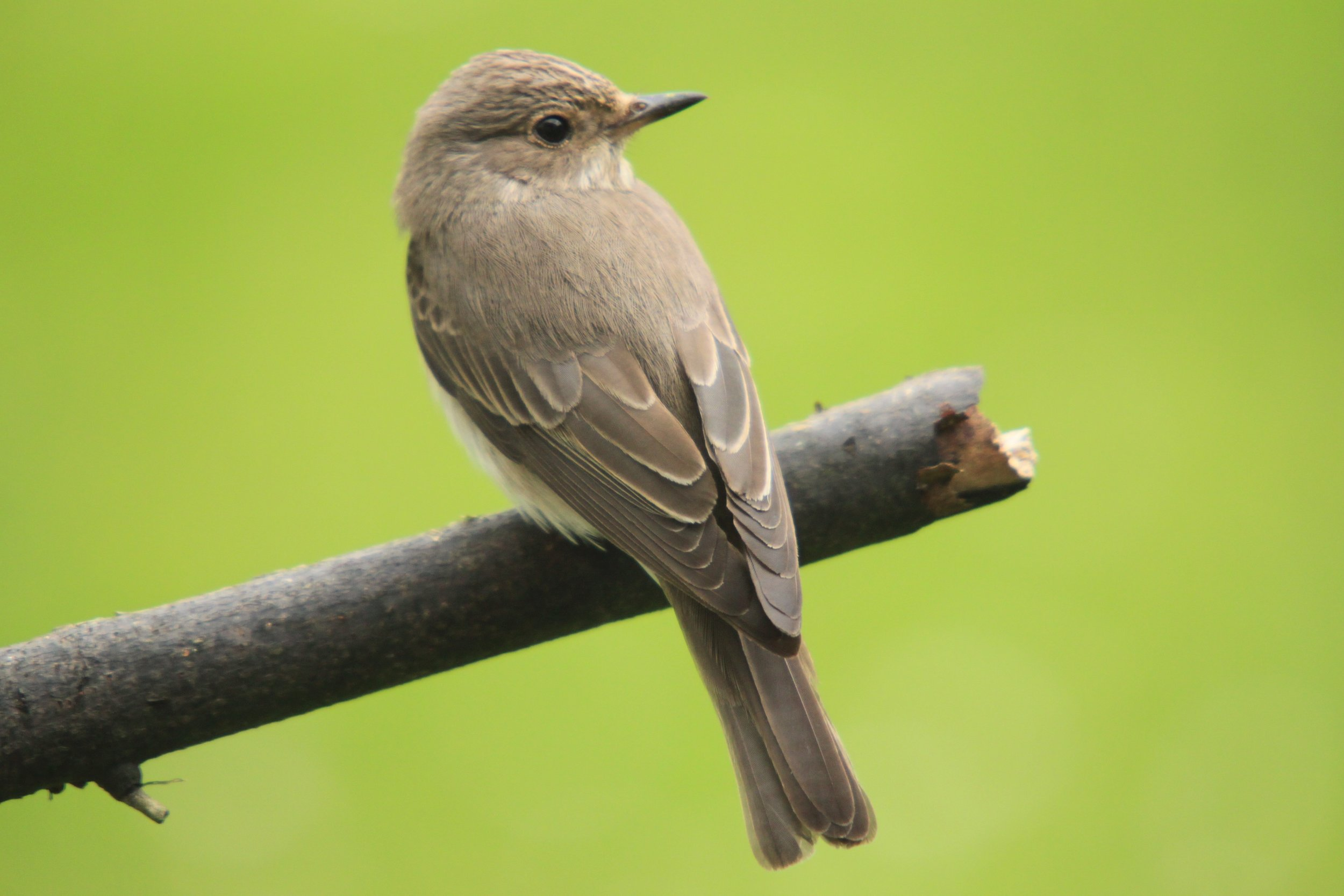 Flycatcher 9.jpg