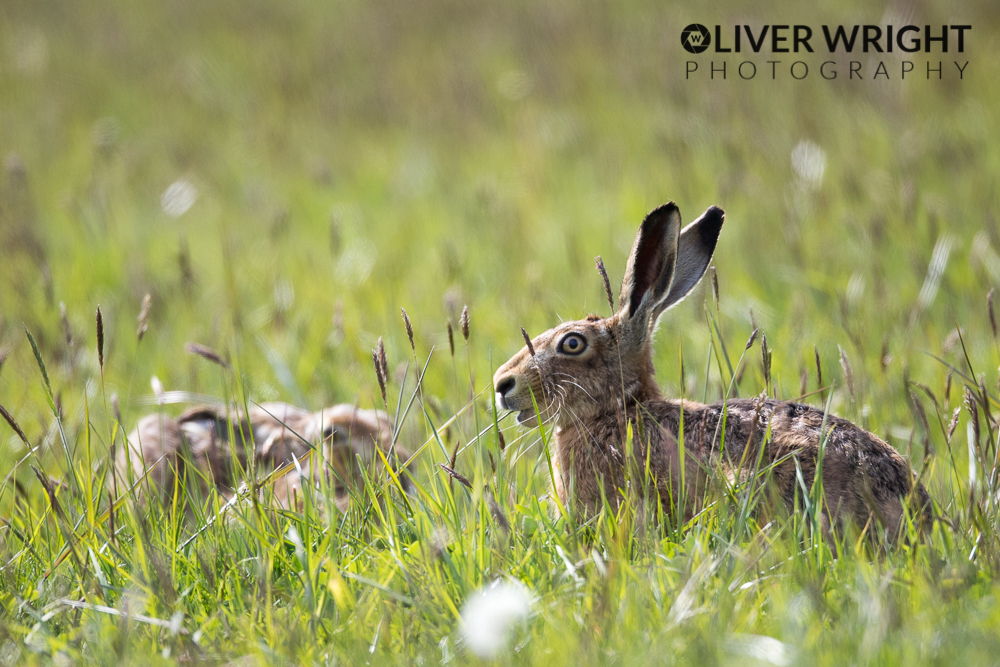 Hares Oliver Wright.jpg