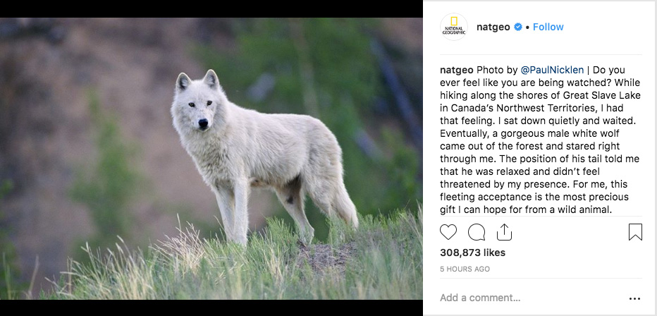A photo of a white wolf posted on National Geographic's Instagram channel on September 10, 2018, featuring extended first-person commentary in the caption from contributing photographer Paul Nicklen.