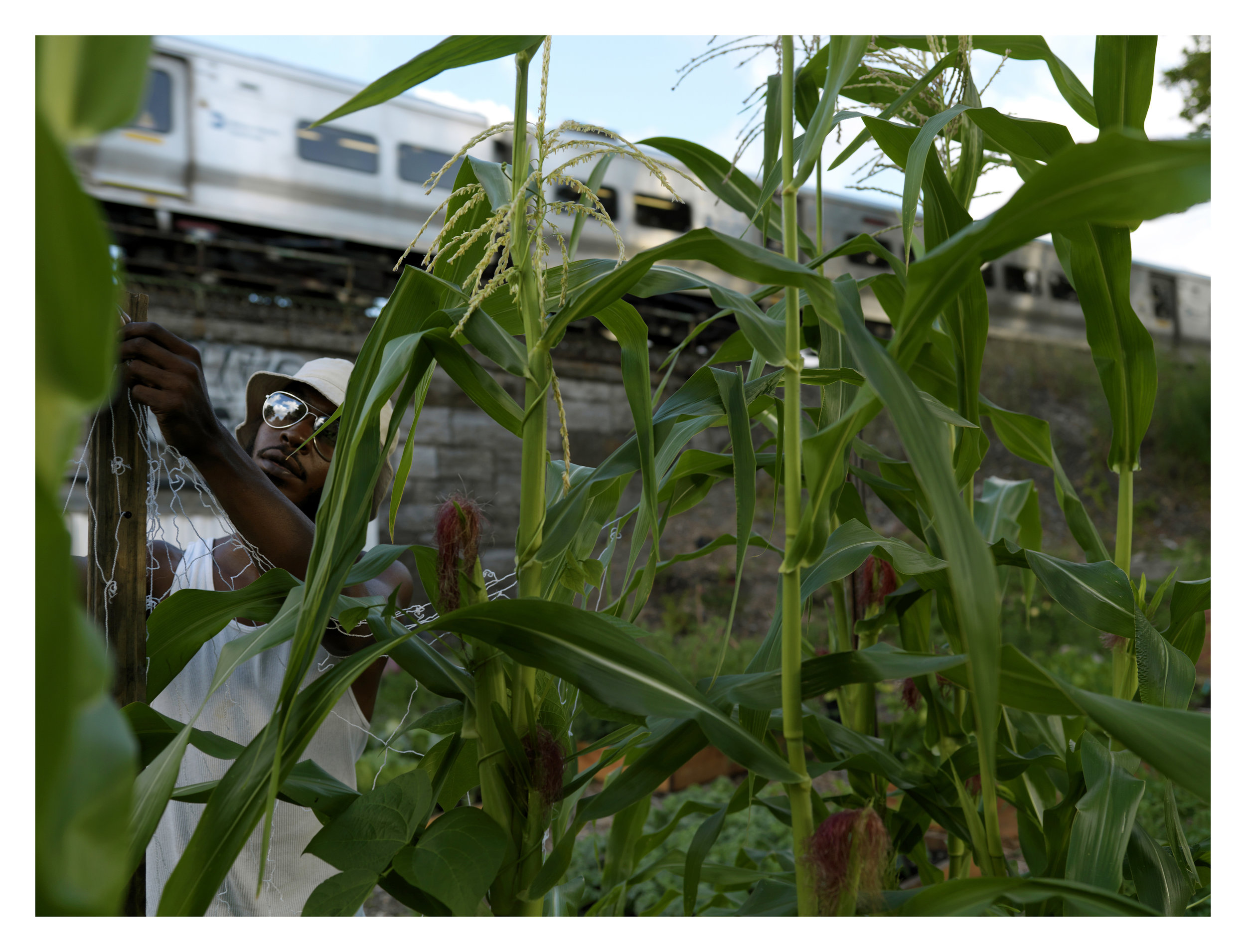 A volunteer gardener at Finca Del Sur, a yaer old garden in the South Bronx,  tends the corn stalks while a passenger train goes by in the background.  The garden was created on an empty plot of land bordered by a high way exit ramp and a commuter train line.    Volunteers grew, corn, cabbage, eggplant, apples, peppers,  etc.  In 2011, La Finca Del Sur  (The point of the south)  will be the location for a newly created farm school