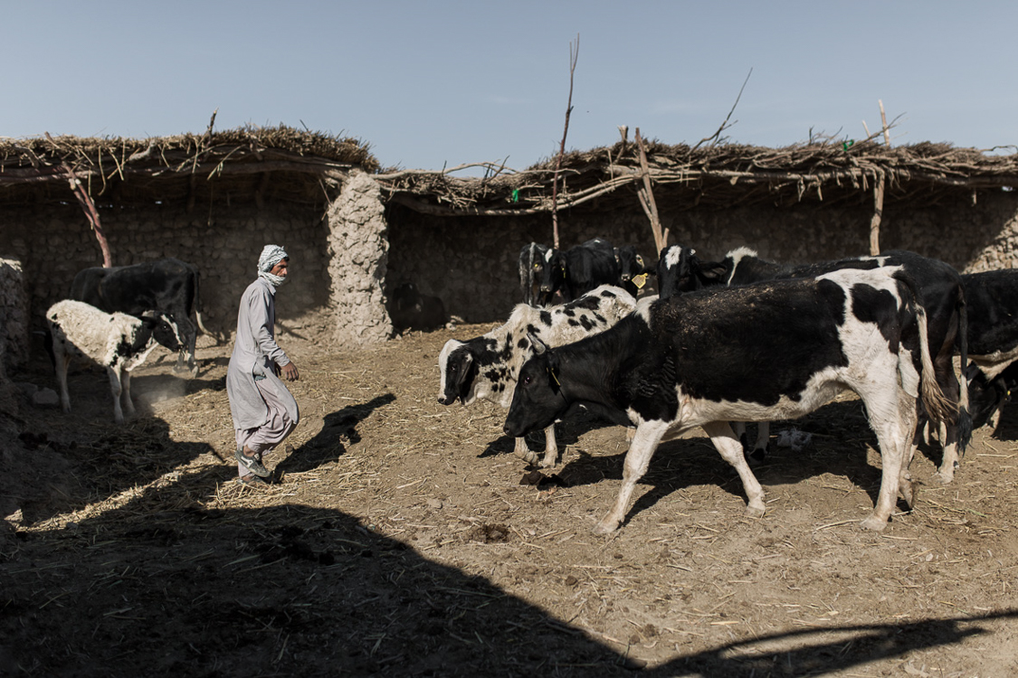 Sistani breed of cow, used to provide one of the most favorable types of meet. With current conditions however it has become almost impossible to keep the trade alive. With no water and vegetation, cows have to be hand fed with food bought from the market and water brought to the area by water tanks.