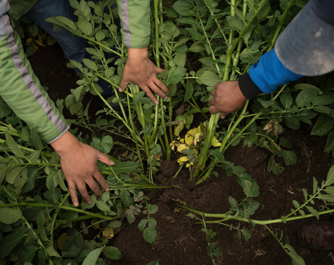 Evaluating the potato produce some weeks before the harvest. Peru, 2016.