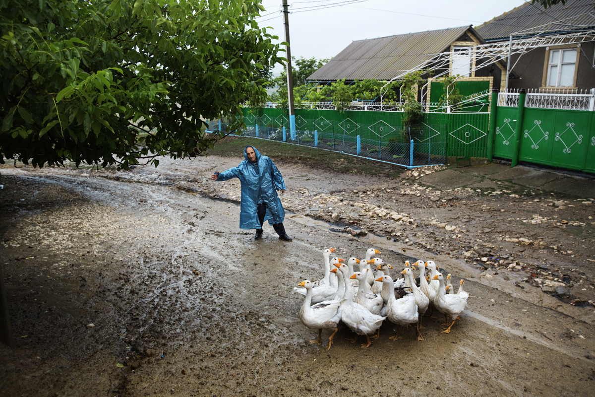 Moldova. Beshalma, Gagauzia - July 2017  A man under heavy rain is tring to direct his geese to their home.