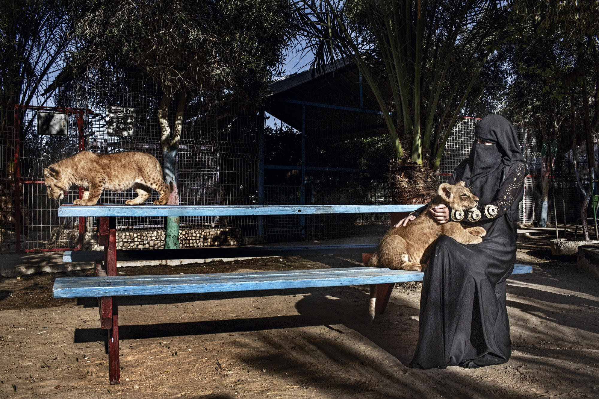 Occupied Palestinian Territories, Gaza, Rafah, 01 June 2013  A woman plays with two baby lion cubs born in the Rafah Zoo in Gaza.  Gazan Zoo keepers are renowned for creativity, faced with limited options; having famously painted a donkey as a zebra, smuggling in animals through the tunnels, and stuffing them once they are dead, as animals are difficult to replace.