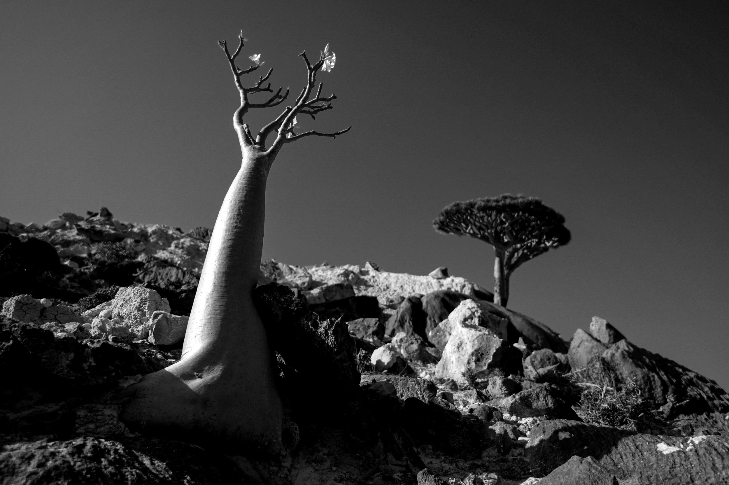 Project Socotra: The invisible Island February 2019 Bottle trees. Locals called these trees �useless trees�.