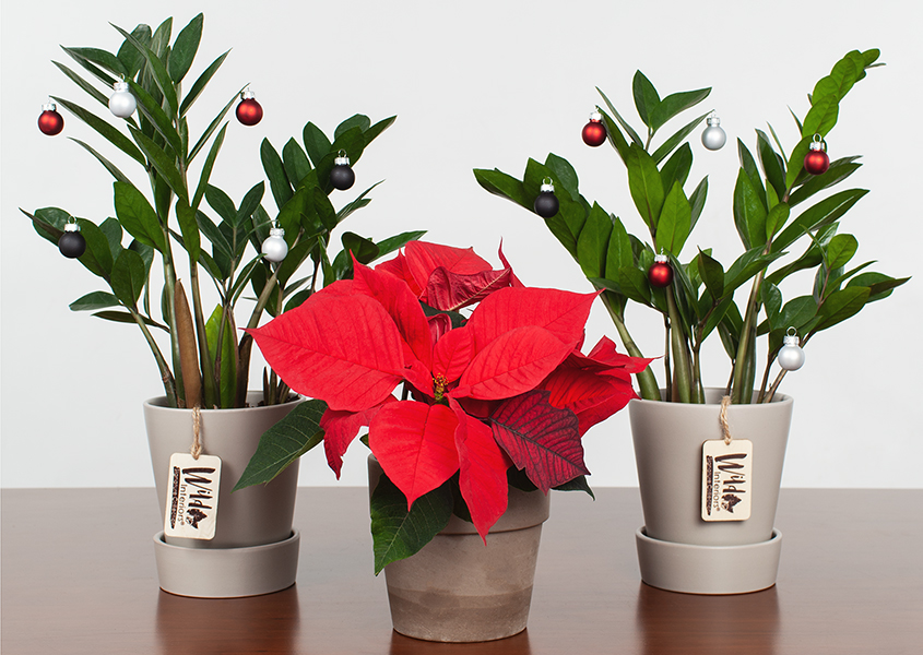 History of Holiday Plants.jpg