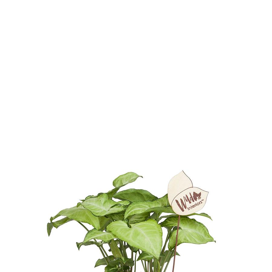 Syngonium Podophyllum Glo-Go.jpg