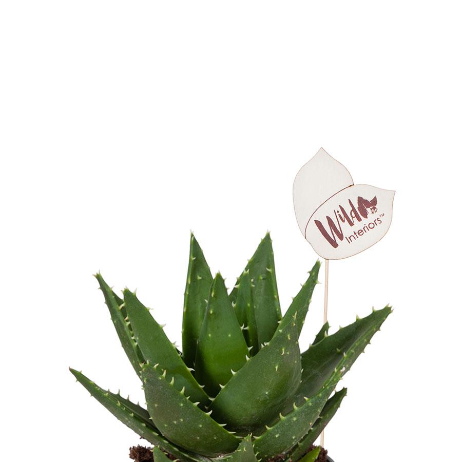 Aloe Mitriformis.jpg