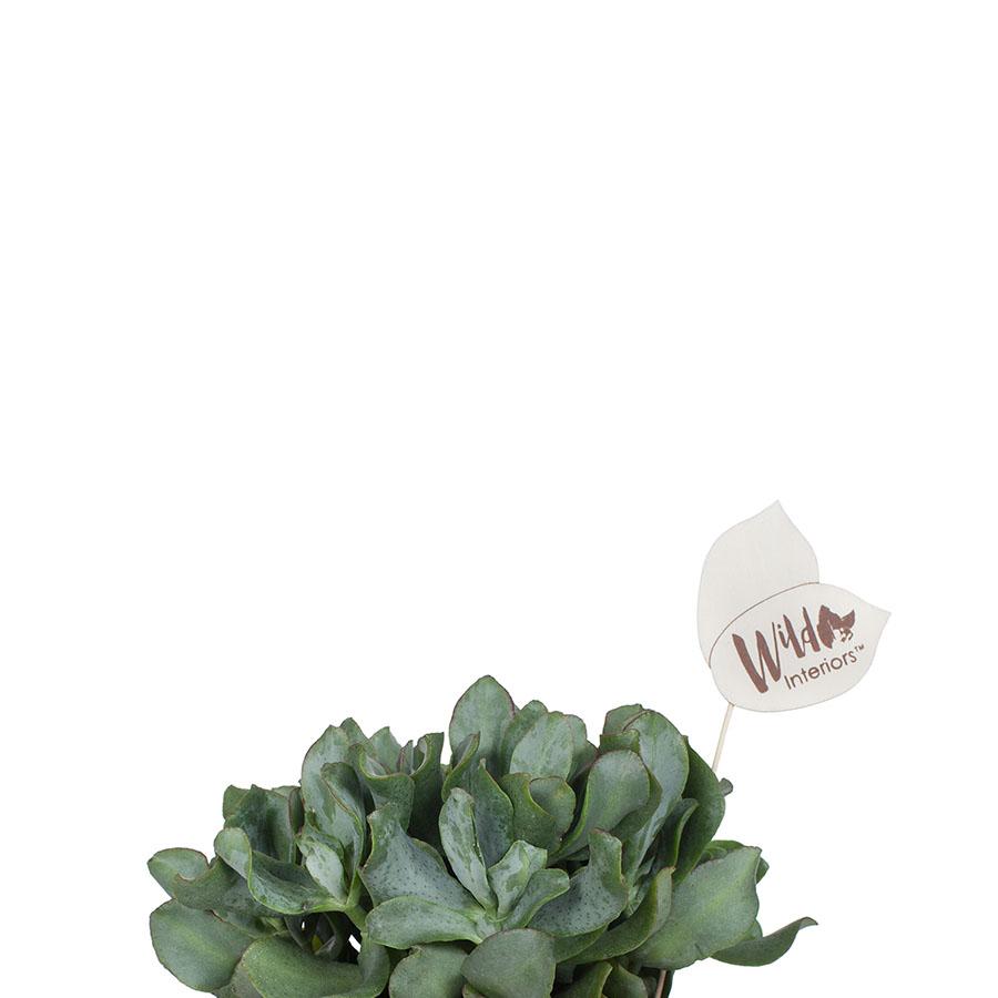 Crassula Arborescens Curly.jpg