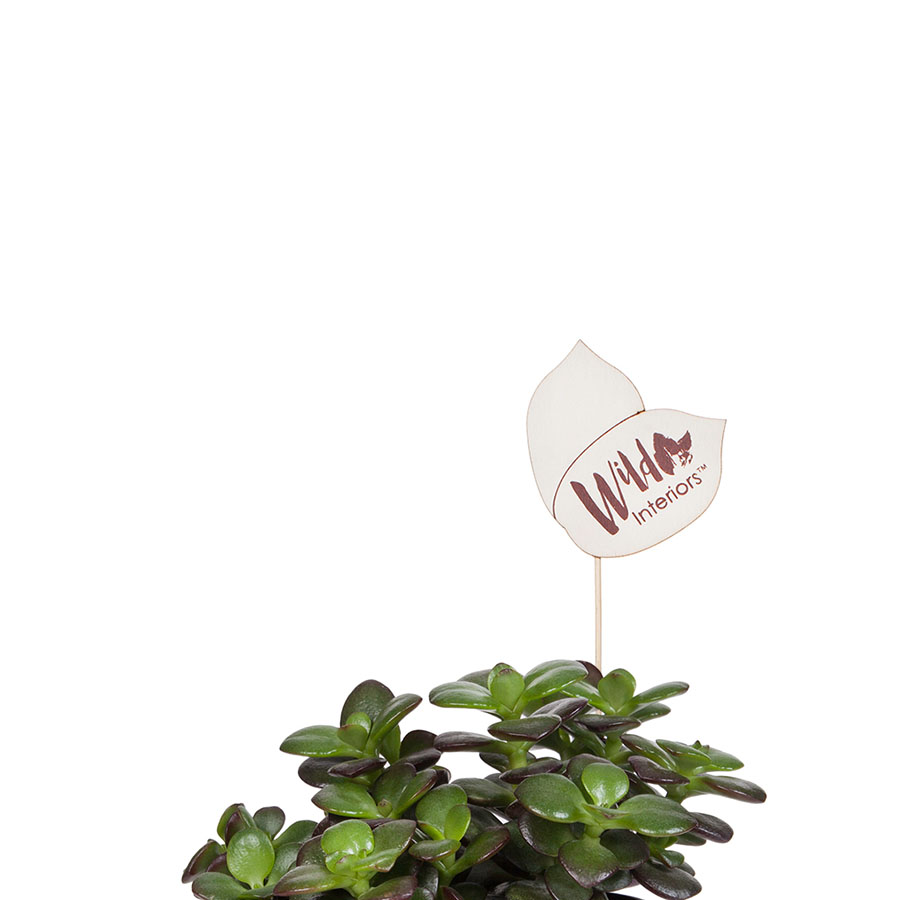 Crassula Minor.jpg