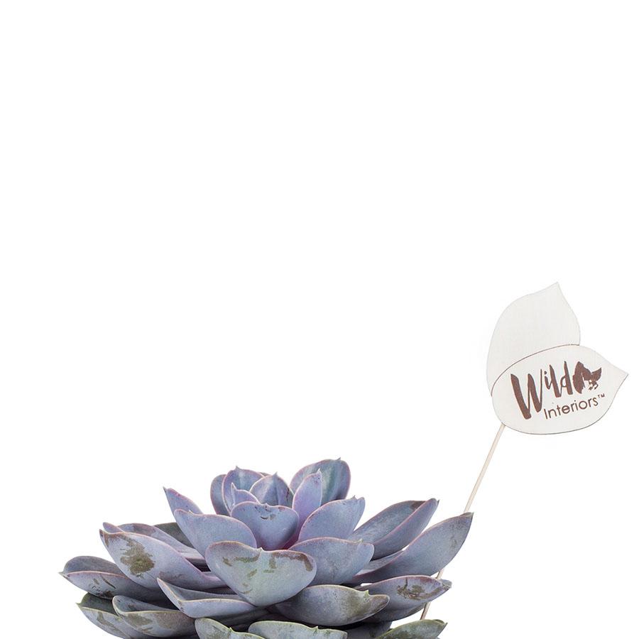 Echeveria Pearl of Nurnberg.jpg