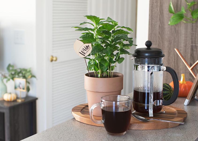10_1-Coffee Plant Care.jpg