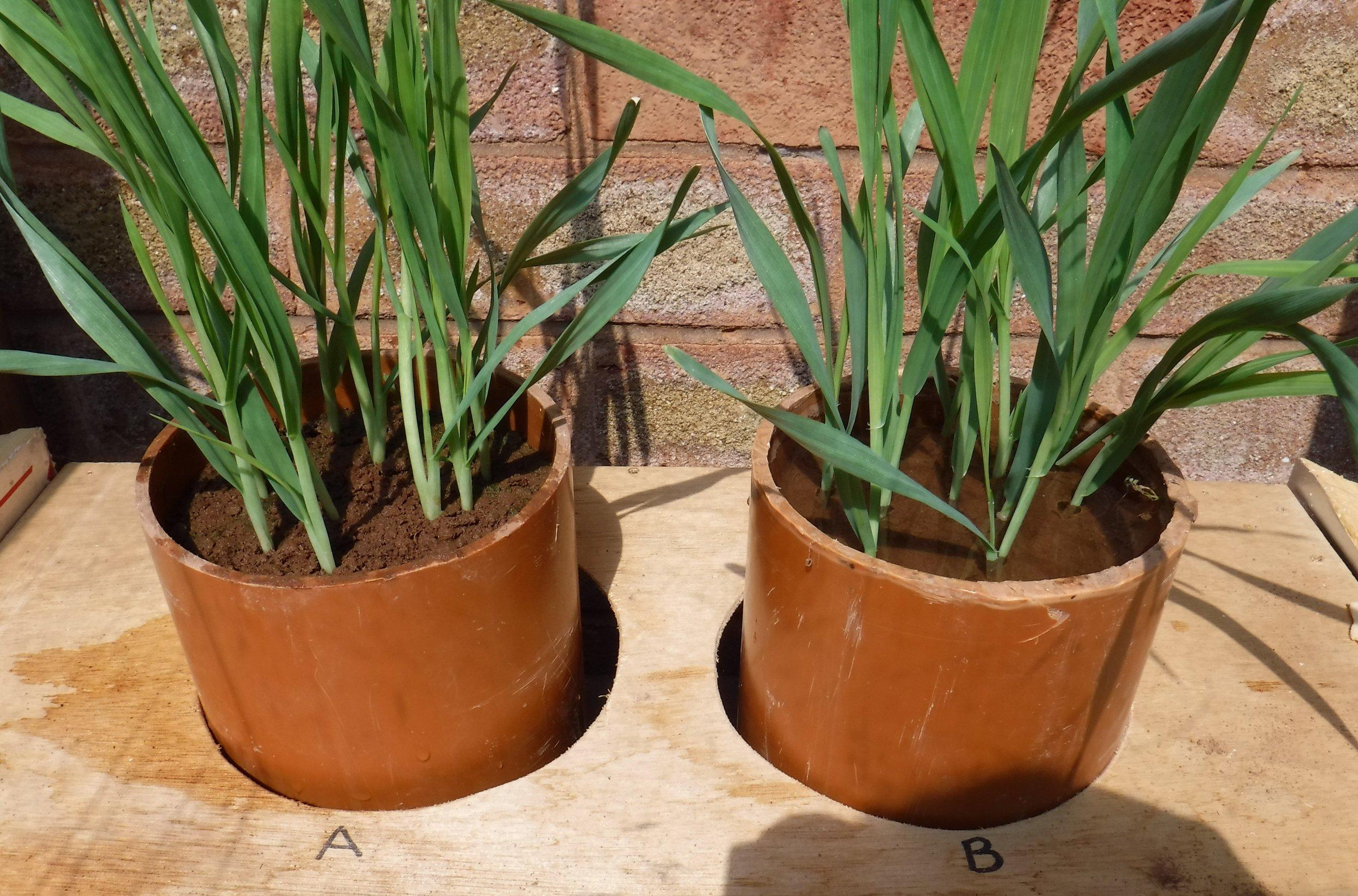 Spring barley growing in soil profiles