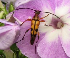 Longhorn beetle.jpg