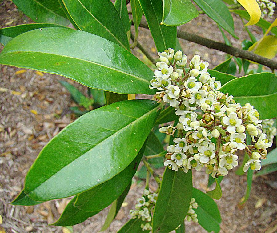 The shrub (Ilex paraguariensis used to make yerba mate tea