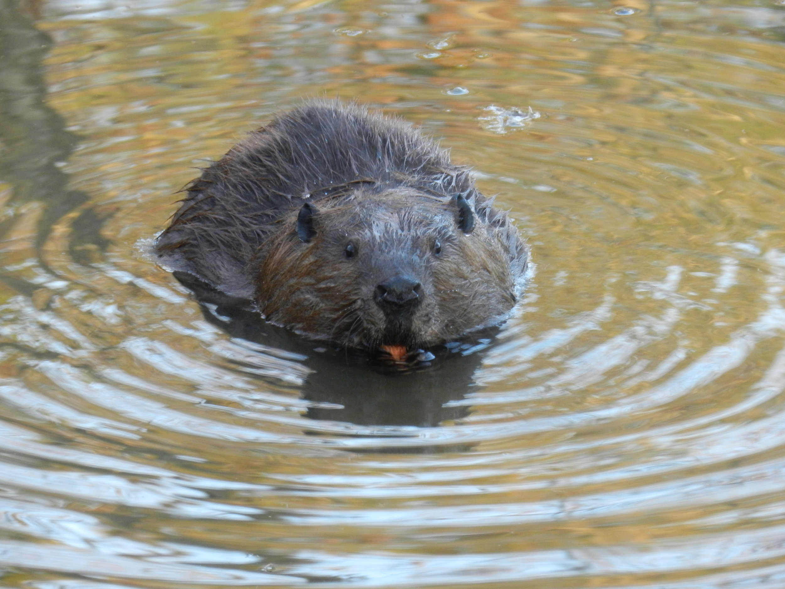 Beavers and Wetlands  Beavers are a keystone species, and essential to habitat restoration at the Preserve. Walk over beaver dams and look for signs of beavers, as we examine how they benefit our urban ecosystem.