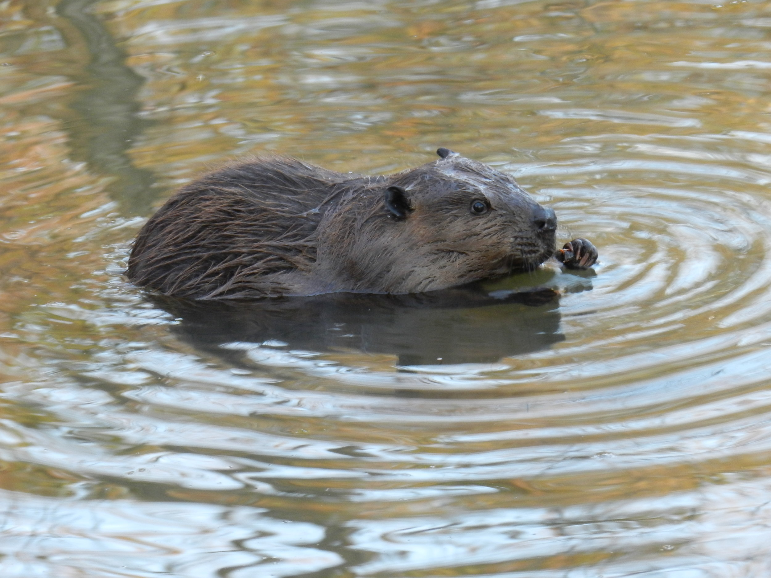 Beavers and Wetlands  What role do beavers play in the water cycle? Find out as we explore our Wetland and Woodland Field Education site and discover how beavers and the water cycle shape the land.