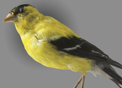 american goldfinch.jpg