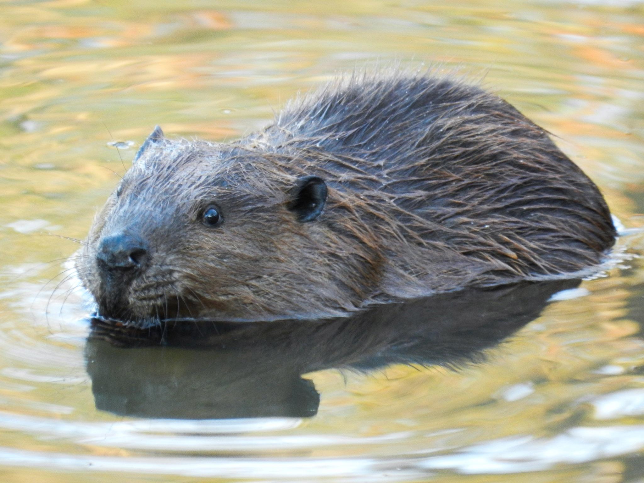 Beaver-3.jpg