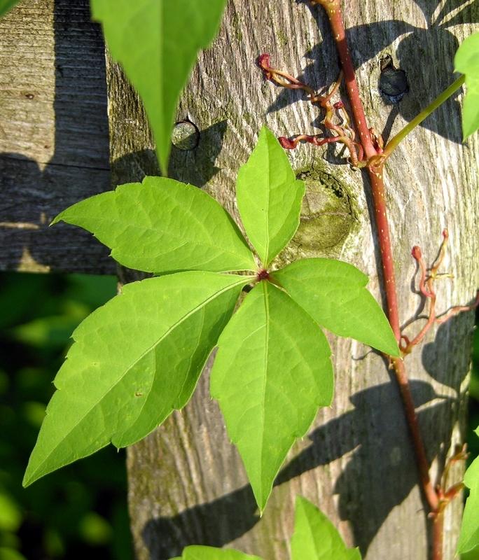 Virginia Creeper has five leaves.