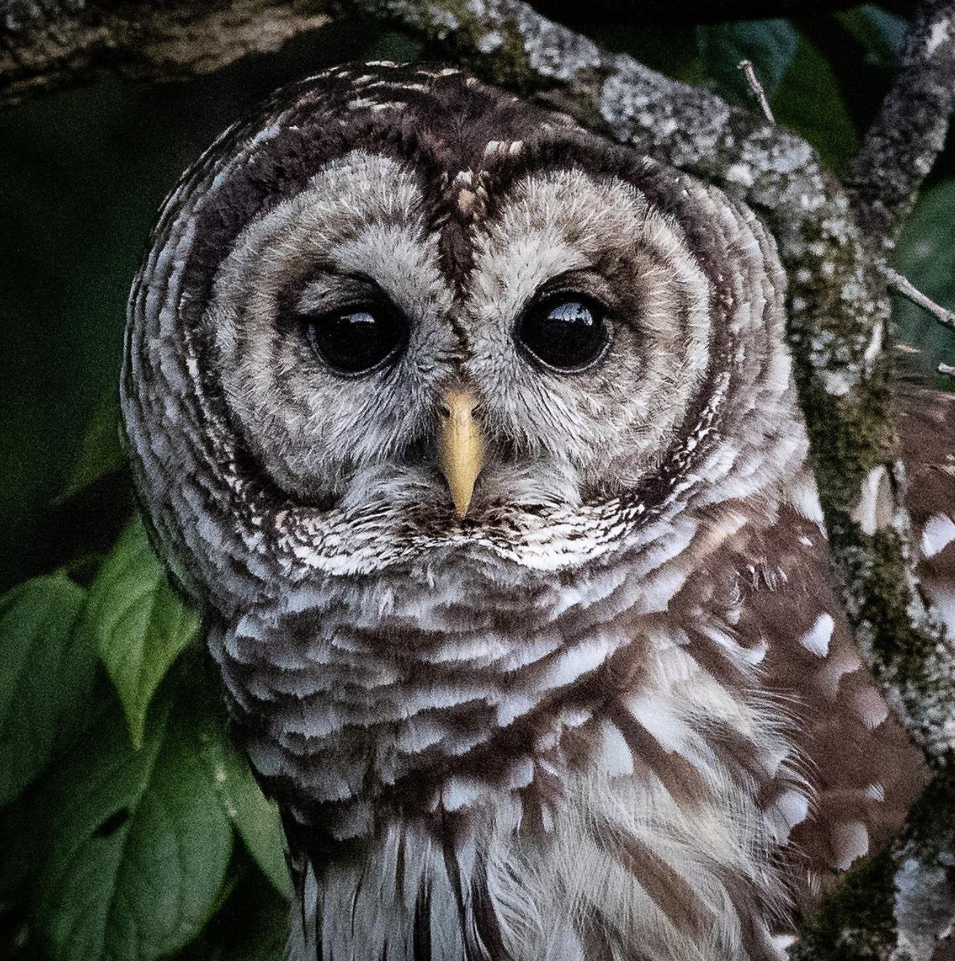 A Barred Owl ( Strix varia ) at Blue Heron captured by  Jeff Kingsfield .