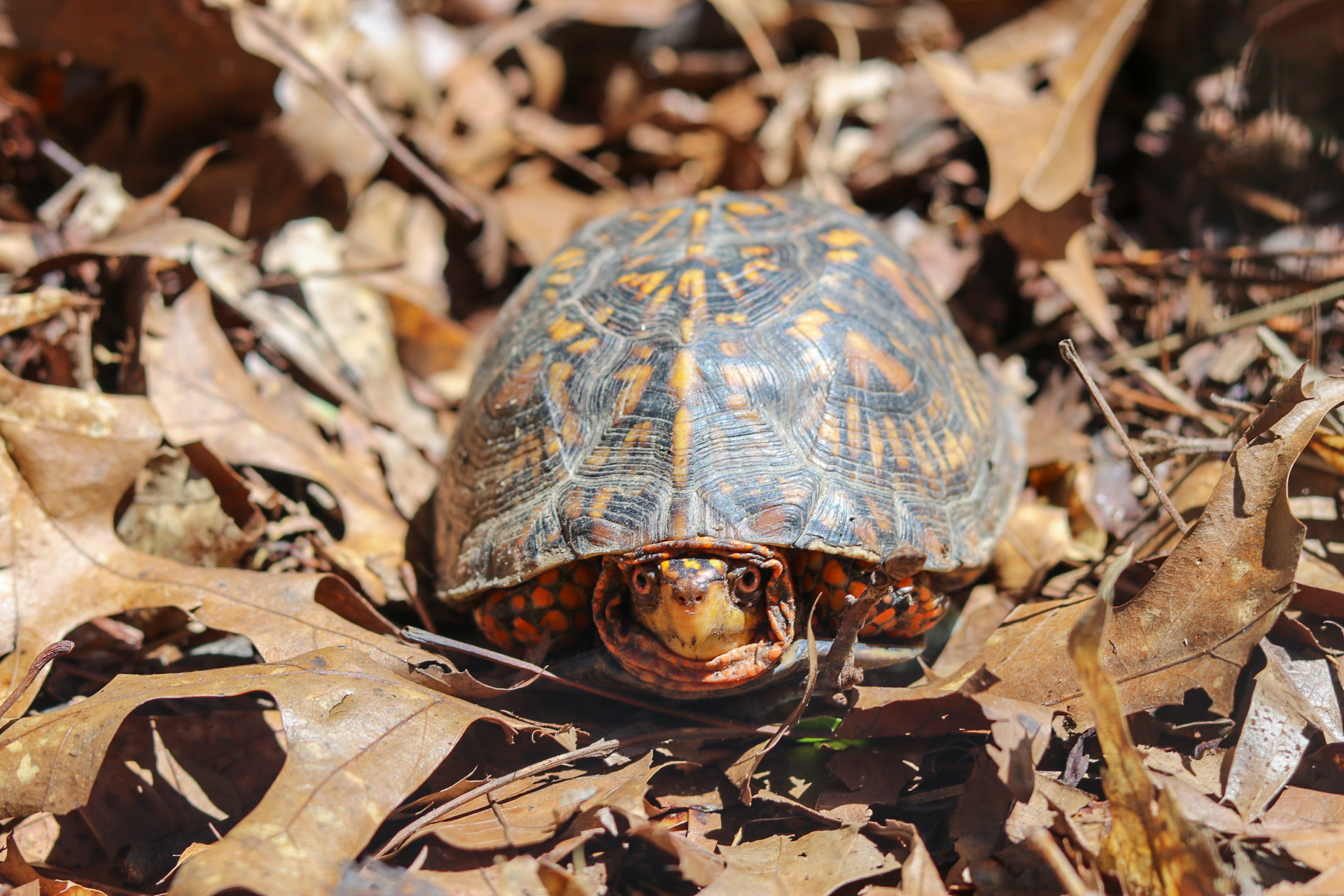An Eastern Box Turtle from the turtle sanctuary located outside of the Blue Heron building.