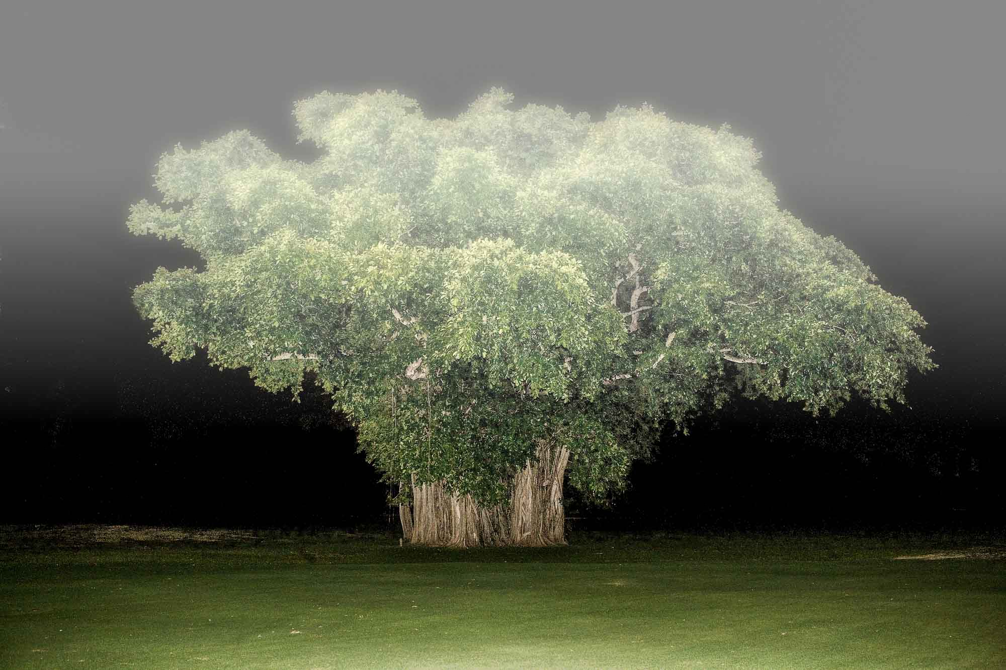 Banyan Tree in Fog, 2006.