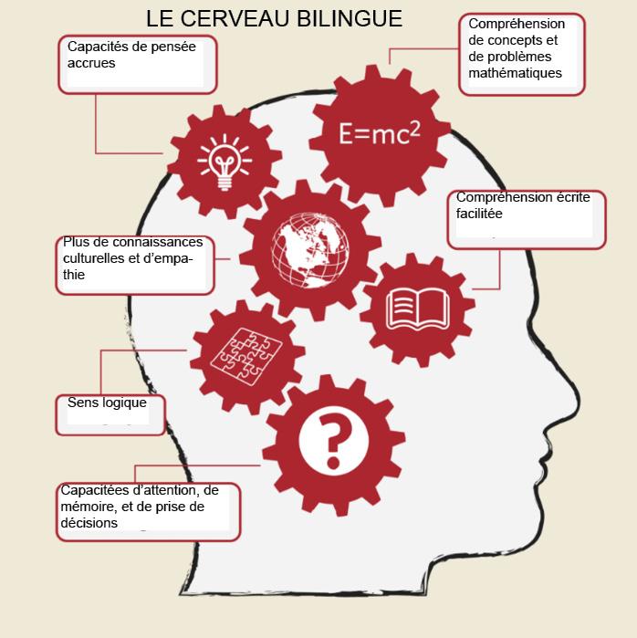 cerveau bilingue.jpg