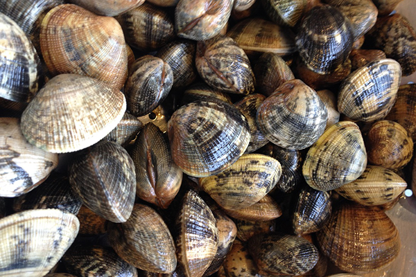 """MANILLA CLAMS These firm, tender clams are the best for steaming. Because these are """"cultured"""" (farm-raised), they are not sandy and do not require purging or extra cleaning. Enjoy the fresh flavor without the extra work."""