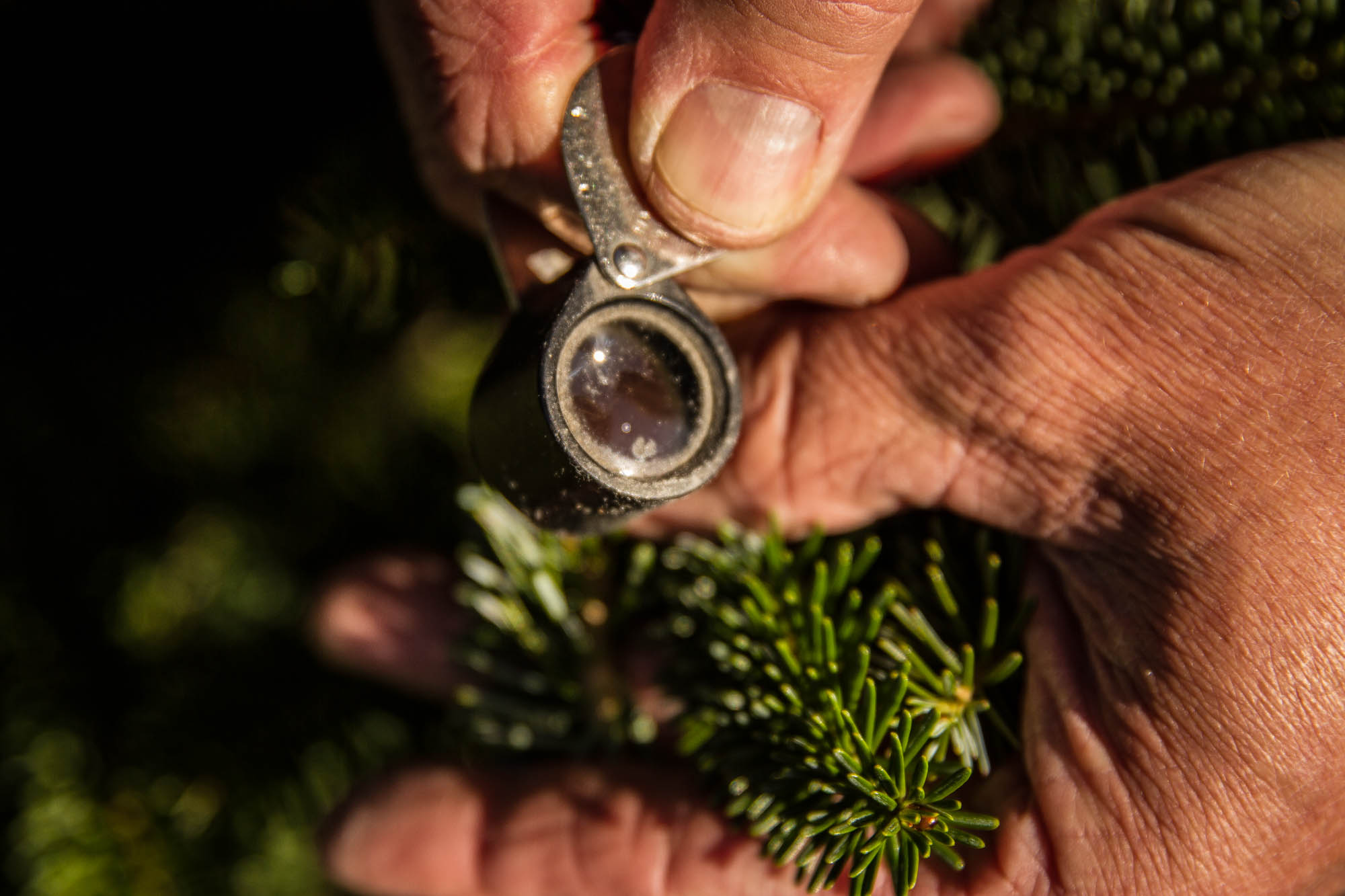 Owens examines a Christmas tree through a pocket magnifying glass, looking for a specific type of pest. These pests control where the trees can be shipped and sold, as well as how the tree looks.
