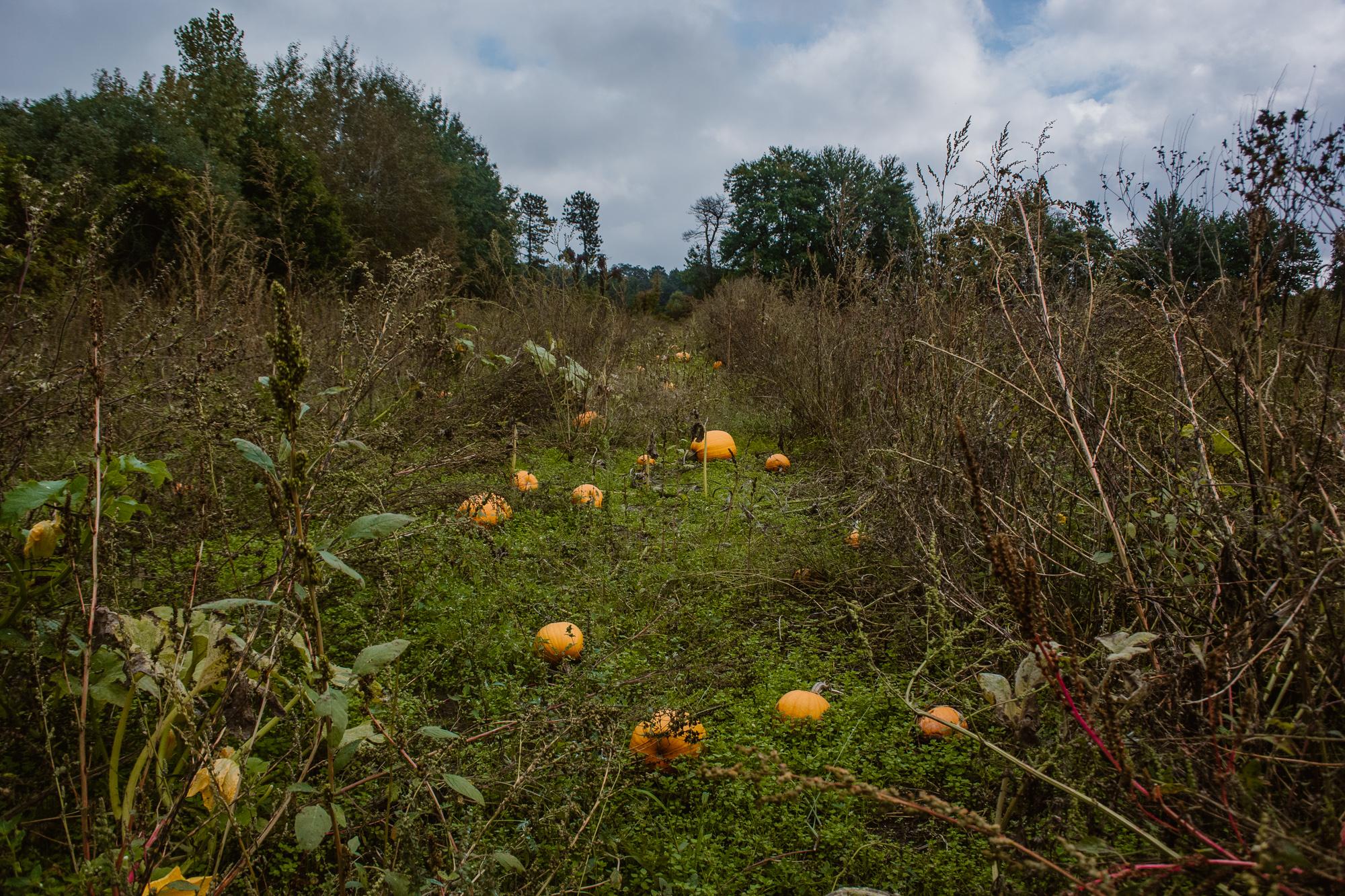bethke-farms-pumpkin-patch-grand-haven-michigan (1).jpg