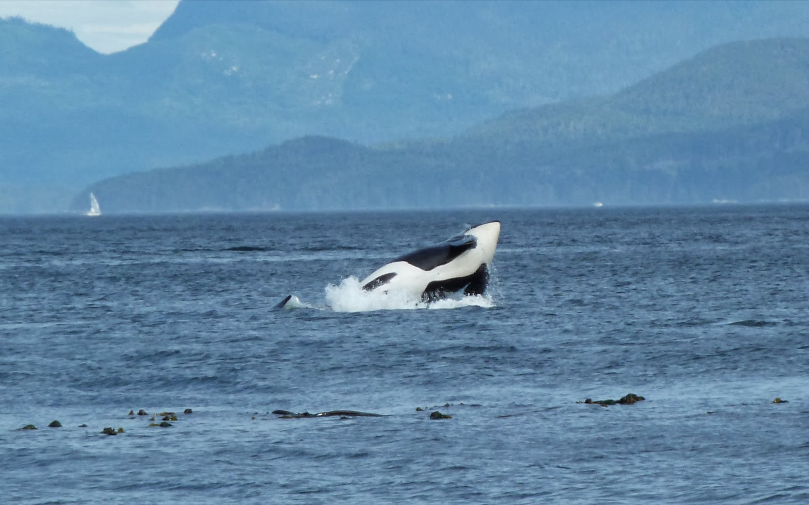 orca-camp-222-killer-whale-surfacing copy.jpg