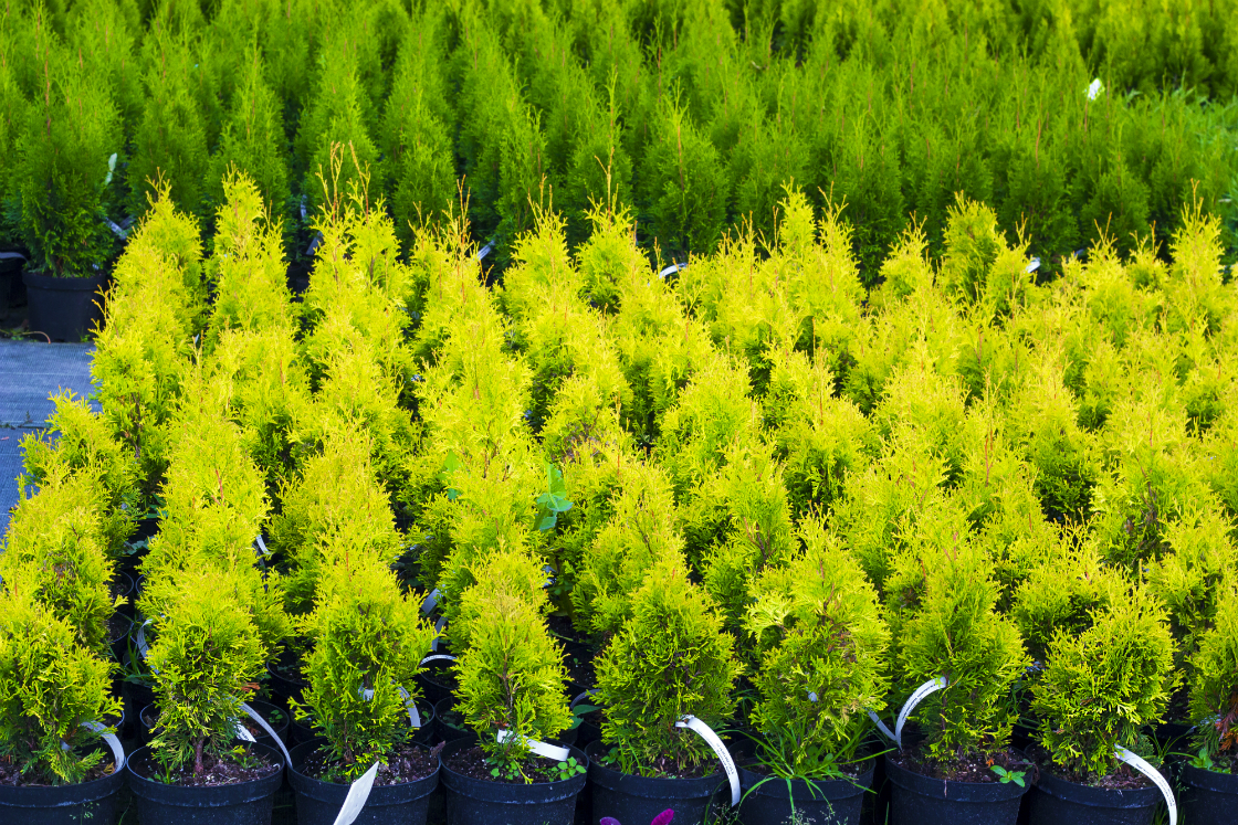 Add Color to Your Bergen County, NJ, Winter Landscaping with These Evergreen Trees and Shrubs from our Wholesale Nursery