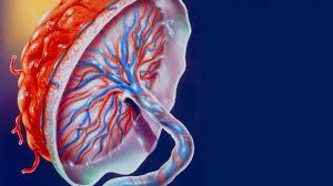 placenta animated.jpeg