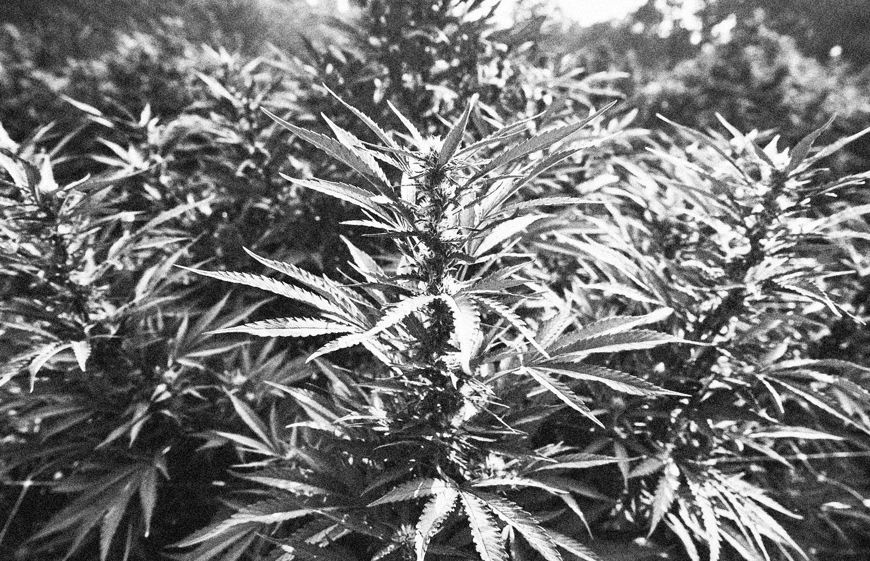 farming_cannabis.jpg