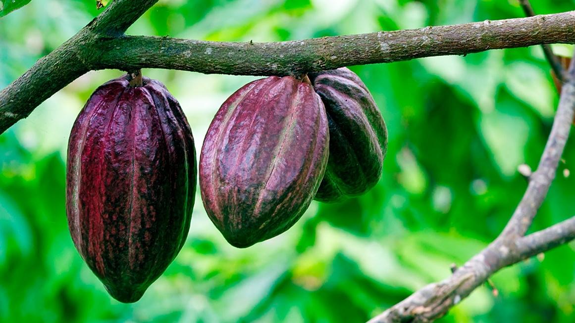 cacao-rama.jpg