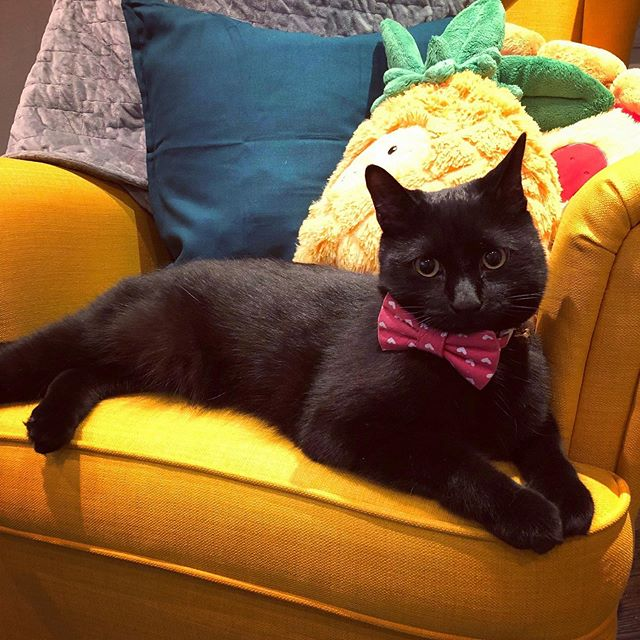i think he likes the new chairs as much as i do 💛🍍🌻✨#catsofinstagram #catlife #blackcat #voidcat